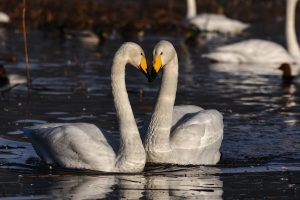 The Artwork of Congruence - How staying Grounded and Attuned creates the suitable Kind of Attraction - Swans